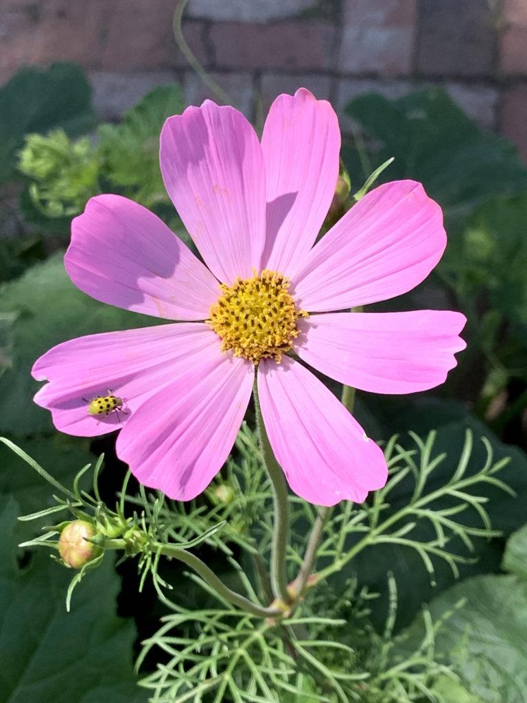 purple wildflower with lady bug in garden