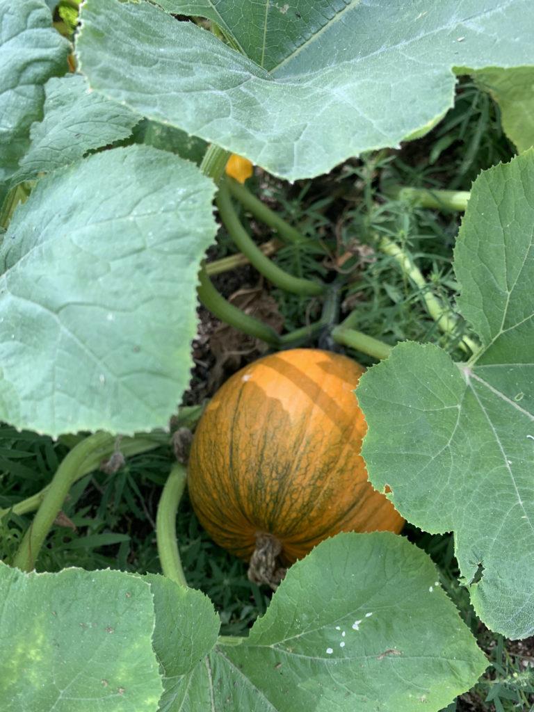 orange pumpkin in garden